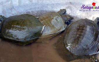 mẹo vặt trong cuộc sống, Chọn thủy sản, hải sản - Chọn ba ba