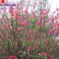 Cách làm hoa sen quả dứa bằng kẹo oishi, mẹo chọn quất đào 2